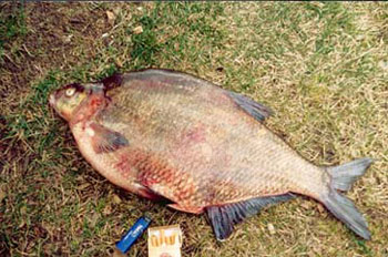the biggest bream in the world